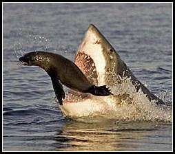 seal-shark.jpg